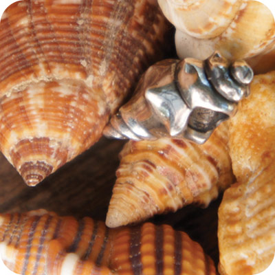 Conch-Shell-A